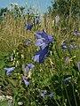 Campanula rotundifolia1.jpg