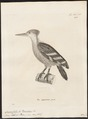 Campephilus validus - 1700-1880 - Print - Iconographia Zoologica - Special Collections University of Amsterdam - UBA01 IZ18700139.tif