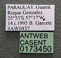 Camponotus sericeiventris casent0173450 label 1.jpg