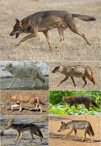 Canis - Gray wolf (top), coyote and African golden wolf (top middle), Ethiopian wolf and golden jackal (bottom middle), black-backed jackal and side-striped jackal (bottom)