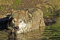 Canis lupus lupus (Tierpark Berlin) 978-860-(118).jpg