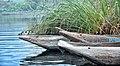 Canoes, Lake Bunyonyi, Uganda (15244738044).jpg