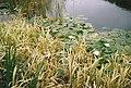 Canonteign Falls - The Lakes - 2000 - Lily lake (5371205488).jpg