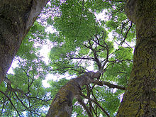 canopy of a forest - Canopy