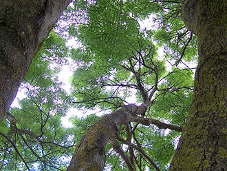 Diffuse sky radiation - Well lit understorey areas due to overcast clouds creating diffuse/soft sunlight conditions, that permits photosynthesis on leaves under the canopy.