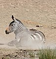 Cape Mountain Zebra (Equus zebra zebra) mare having a dust bath ... (32418069492).jpg