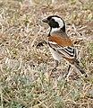 Cape Sparrow (Passer melanurus) male (32216019793).jpg