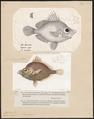 Capros aper - 1700-1880 - Print - Iconographia Zoologica - Special Collections University of Amsterdam - UBA01 IZ13500511.tif