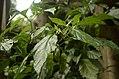 Capsicum chinense 'Bhut Jolokia' from Nagaland JEG5203.JPG