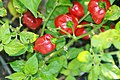 Capsicum chinense Congo Trinidad 2zz.jpg