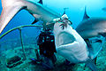 Carcharhinus perezi feeding bahamas.jpg