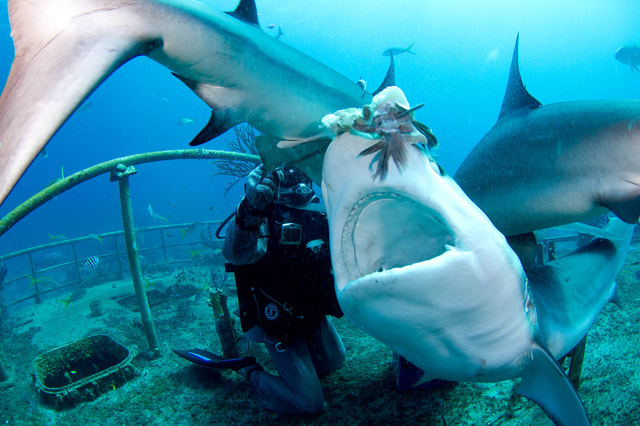 File carcharhinus perezi feeding wikimedia for Sharks fish chicken little rock ar