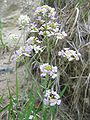 Cardaminopsis arenosa habitus.jpeg
