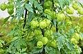 Cardiospermum halicacabum 1808.jpg
