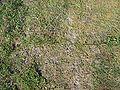 Carex arenaria.jpeg