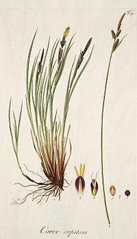 Carex cespitosa.jpg