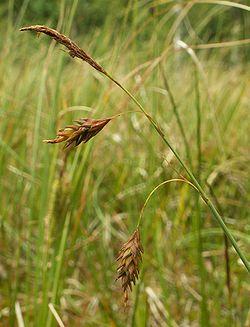 Carex limosa inflorescence kz.jpg