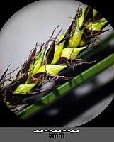 Carex melanostachya sl25.jpg