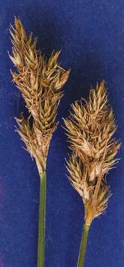 Carexspecifica.jpg