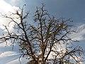 Careya Arborea014.jpg