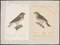 Carpodacus erythrinus - 1700-1880 - Print - Iconographia Zoologica - Special Collections University of Amsterdam - UBA01 IZ16000329.tif