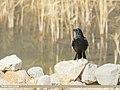Carrion Crow (Corvus corone) (50715622046).jpg