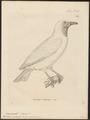 Casmarhynchus nudicollis - 1700-1880 - Print - Iconographia Zoologica - Special Collections University of Amsterdam - UBA01 IZ16600163.tif