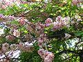 Cassia grandis (481169591).jpg