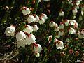 Cassiope mertensiana - Flickr - pellaea.jpg