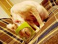 Cat sphynx 2.jpg
