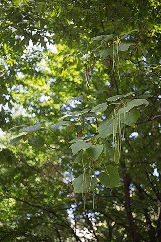 Catalpa ovata - Image: Catalpa Ovata leaves and pods