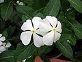 Catharanthus roseus (3).JPG