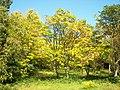 Cedrela sinensis 001.jpg