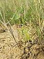 Centaurium pulchellum sl21.jpg