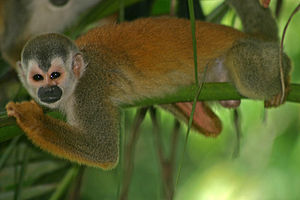 Central American squirrel monkey - Resting on a branch