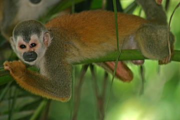 Central American squirrel monkey Central American Squirrel Monkey.jpg