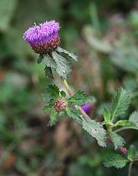 C. punctatum, lavendelknapp