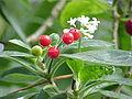 Cephaelis acuminata3.jpg