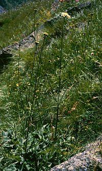 Cephalaria gigantea 1