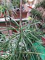 Cephalotaxus sinensis 粗榧.jpg