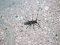 Cerambycidae Flinflon MB.jpg