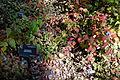 Ceratostigma willmottianum - Quarryhill Botanical Garden - DSC03380.JPG