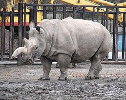 Nosorožec tuponosý severní v ZOO Dvůr Králové