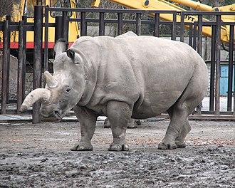 Northern white rhinoceros - A northern white rhinoceros with an Einiosaurus-like horn at the Dvůr Králové Zoo