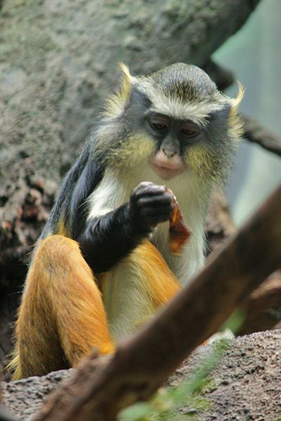 File:Cercopithecus wolfi at the Bronx Zoo 004.jpg