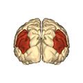 Cerebrum - angular gyrus - posterior view.png
