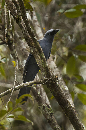 Cerulean cuckooshrike - Image: Cerulean Cuckoo Shrike Sulawesi MG 5185 (16820727967)