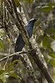 Cerulean Cuckoo-Shrike - Sulawesi MG 5185 (16820727967).jpg