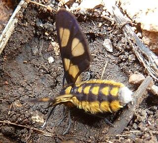 <i>Ceryx</i> (moth) Genus of moths