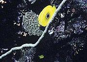 Chaetodon bennetti by NPS.jpg